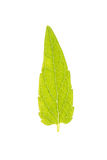 Leaf of Common Skullcap isolated on white Stock Photos