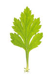 Leaf of Common wormwood isolated on white stock photography
