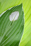 Leaf comparison. Individuality. An individuality concept.Standing out from the crowd. Detailed designed view of two types of fresh green leaves close-up stock images