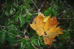 Leaf 1. Contrasting leaf in forrest of park Vingis in Vilnius Lithuania stock photo