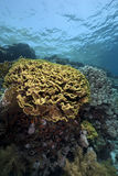 Leaf coral in the Red Sea Stock Photos
