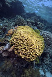 Leaf coral in the Red Sea Stock Image