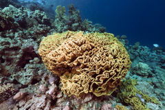 Leaf coral in the Red Sea. Royalty Free Stock Photography