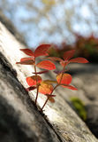 Leaf Cornus suecica growing out of a crack in the rock Stock Image