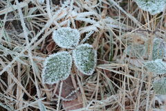 Leaf covered in frost Stock Image