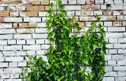 Leaf covered old brick wall Stock Photography