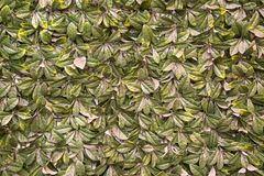 Dense leaf covered wall Royalty Free Stock Photography