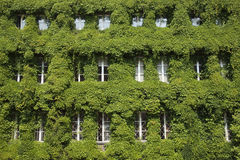 Leaf covered windows in Gdansk. This is an image of a building covered in ivy in the Old Town (Stare Miasto) quarter of Gdansk Stock Image