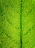 Leaf Cross section Stock Images