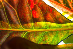 Leaf croton Royalty Free Stock Photography