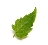 Leaf of cucumber Stock Photo