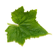 Leaf of cucumber Stock Photography