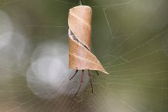 Leaf-curling Australian spider in curled leaf at spiderweb. Close-up of a common Australian spider hiding in its silk-seamed, curled leaf, which hangs on a stock photography