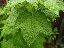 Leaf currant Stock Photos