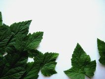 Leaf currant Royalty Free Stock Images