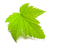 Leaf of currants on a white Royalty Free Stock Photo