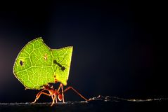 Leaf cutter ant. A worker leaf cutter ant carries a cut piece of leaf back to nest while miniature defender ant protects against parasitoid flies royalty free stock photo