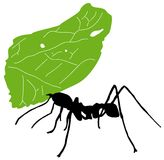 Leaf cutter ant. Leaf-cutter ant, Acromyrmex octospinosus, carrying leaf in front of white background Stock Photos