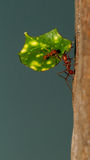An leaf cutter ant Royalty Free Stock Image