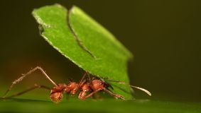Leaf cutter ant. Macro shot of a leaf cutter ant carrying  a leaf Royalty Free Stock Image