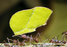 Leaf Cutter Ant. In the Ecuadorian Amazon stock photos