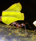 Leaf Cutter Ant. In the Ecuadorian Amazon royalty free stock photos