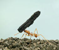 Leaf-cutter ant, Acromyrmex octospinosus Royalty Free Stock Photography