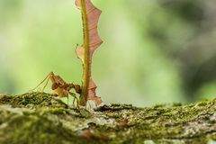 Leaf-cutter ant with huge cut-out leaf piece. A leaf-cutter ant [Atta cephalotes] dragging a leaf cut-off down a mossy branch Royalty Free Stock Photo