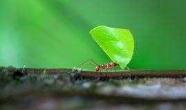 Leaf-cutter ant Atta sp. Near Puerto Viejo de Sarapiqui, Costa Rica royalty free stock photo