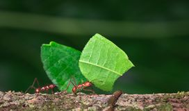Leaf-cutter ant Atta sp. Near Puerto Viejo de Sarapiqui, Costa Rica royalty free stock photos