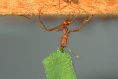 Leaf-cutter ant carrying leaf Royalty Free Stock Image