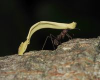 Leaf cutter ant carrying leaf, costa rica Royalty Free Stock Images