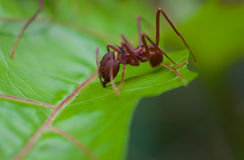 Leaf Cutter Ant cutting 5 Stock Image