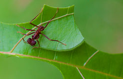 Leaf Cutter Ant cutting 2 Royalty Free Stock Image