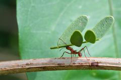 Leaf-cutter Ant. This Leaf-cutter Ant, found in Tortuguero National Park in Costa Rica, carries an enormous piece of a plant in comparison to its own body Stock Photography