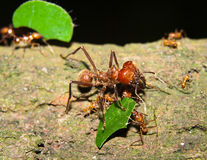 Leaf cutter ants Royalty Free Stock Photo