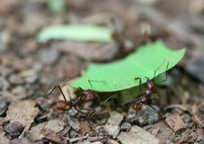 Leaf Cutter Ants. Carry a piece of leaf back to their nest in the rain forest stock images
