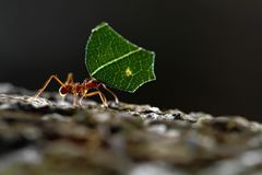 Leaf-cutter Ants - Atta cephalotes carrying green leaves in tropical rain forest, Costa Rica. Brown background royalty free stock photo