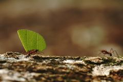 Leaf-cutter Ants - Atta cephalotes carrying green leaves in tropical rain forest, Costa Rica. Brown background royalty free stock photos
