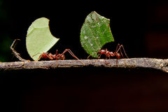Leaf cutter ants, carrying leaf, black background. Leaf cutter ants, carrying leaf in front of a black background royalty free stock images