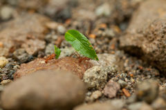 Leaf cutter ants Royalty Free Stock Photography