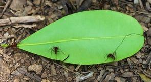 Leaf-cutter ants in Venezuela Stock Photo