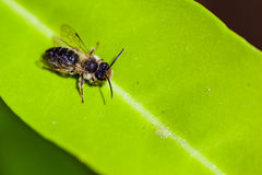 Leaf cutter bee Stock Image