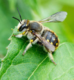 Leaf Cutter Bee. Royalty Free Stock Photos