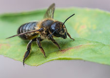 Leaf Cutter Bee Stock Photography