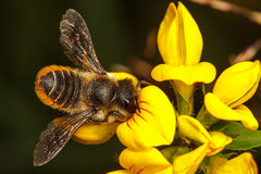 Leaf Cutter Bee. Leaf-Cutter Bee, Megachile centuncularis Stock Photos