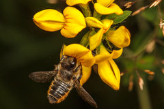Leaf Cutter Bee. Leaf-Cutter Bee, Megachile centuncularis Royalty Free Stock Photos