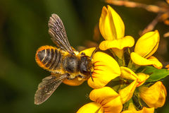 Leaf Cutter Bee. Leaf-Cutter Bee, Megachile centuncularis Royalty Free Stock Photography
