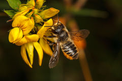 Leaf Cutter Bee. Leaf-Cutter Bee, Megachile centuncularis Royalty Free Stock Photo