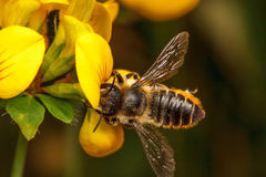 Leaf Cutter Bee. Leaf-Cutter Bee, Megachile centuncularis Royalty Free Stock Image